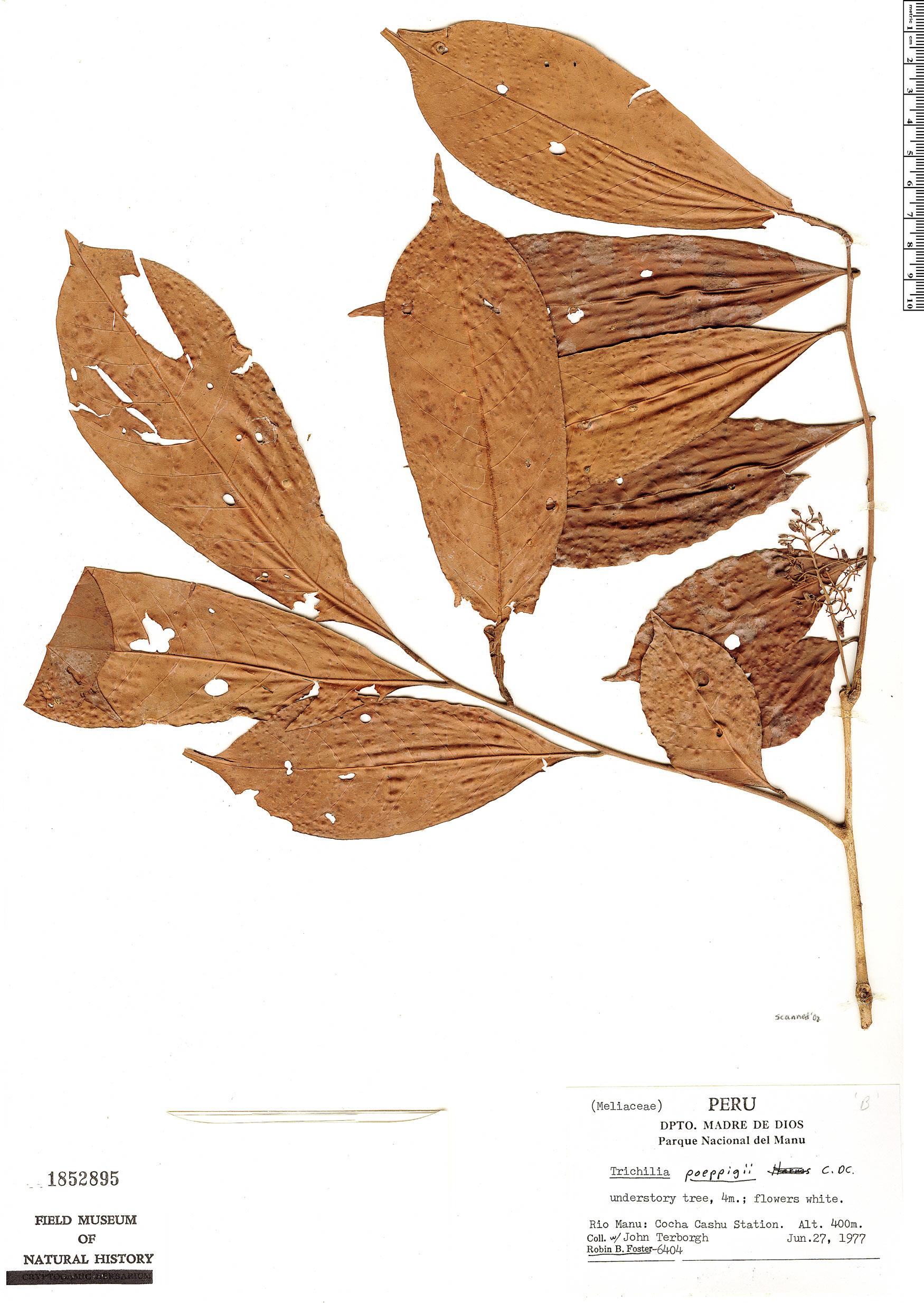 Espécimen: Trichilia poeppigii