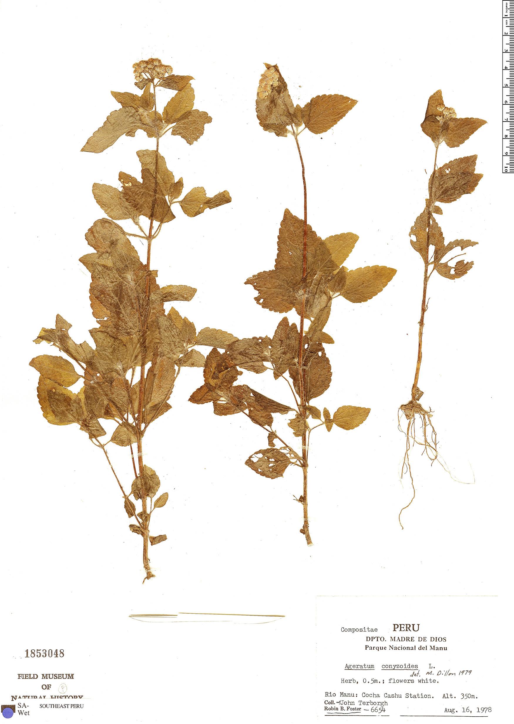 Specimen: Ageratum conyzoides