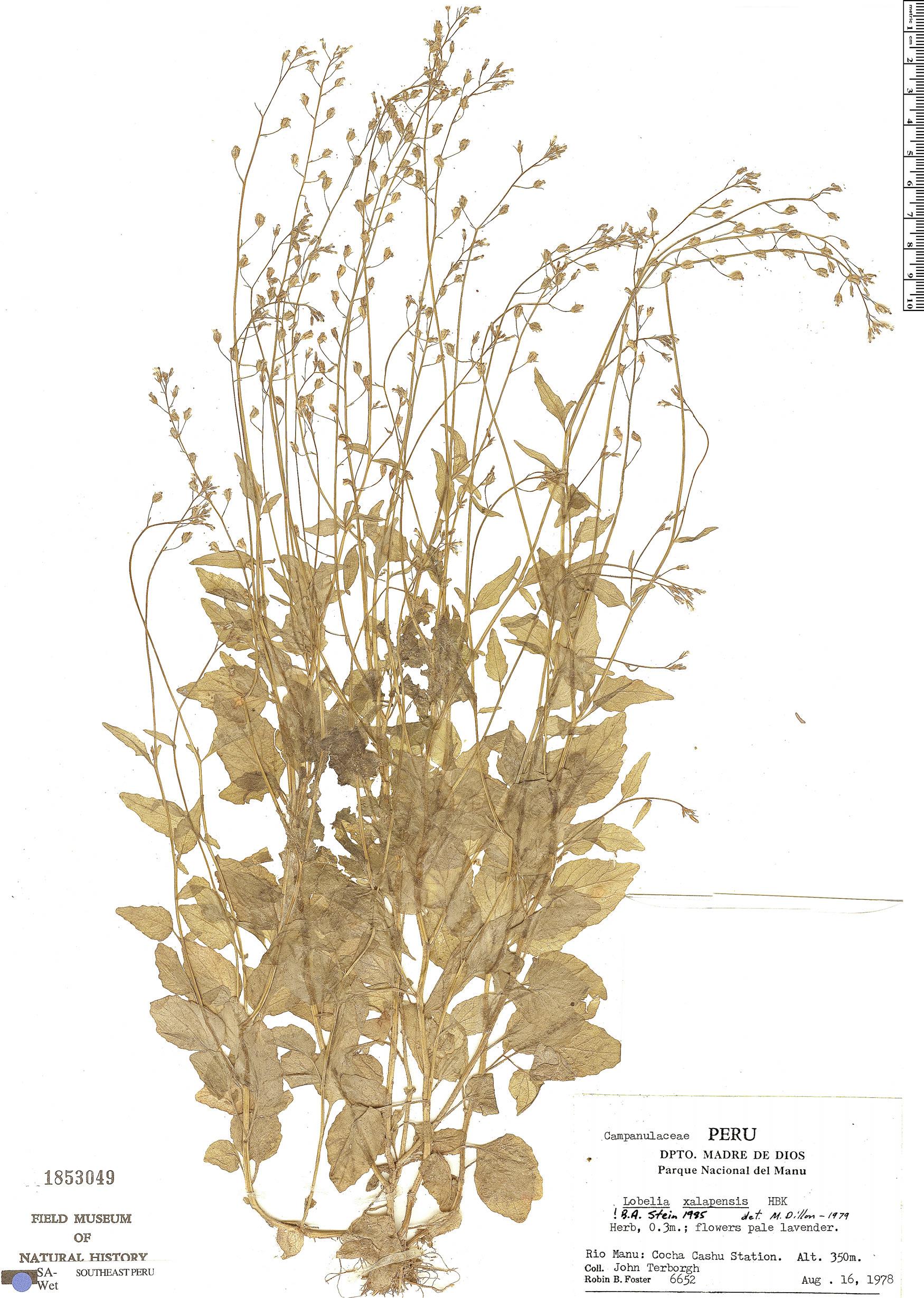 Specimen: Lobelia xalapensis