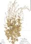 Lobelia xalapensis image