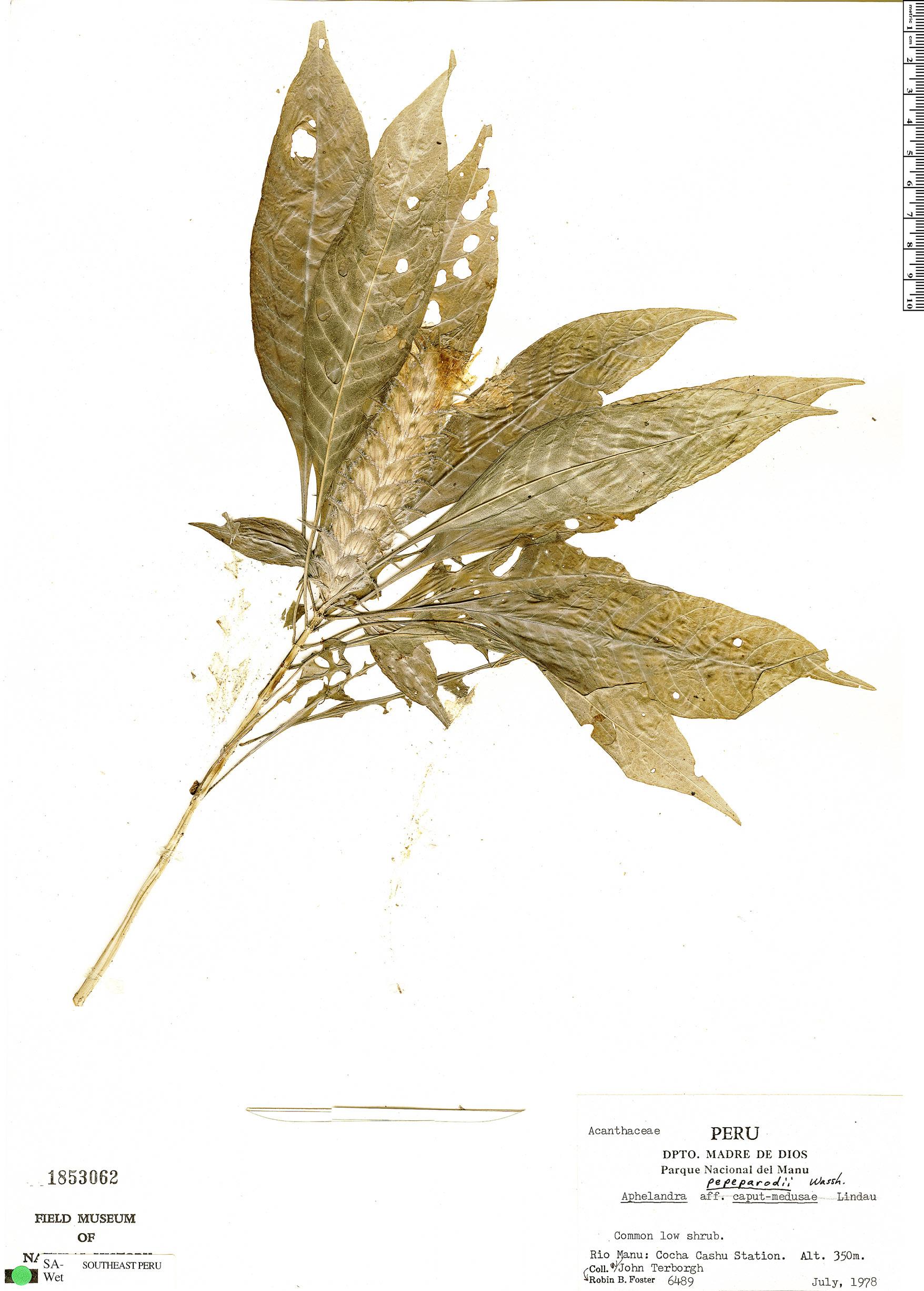 Specimen: Aphelandra pepe-parodii