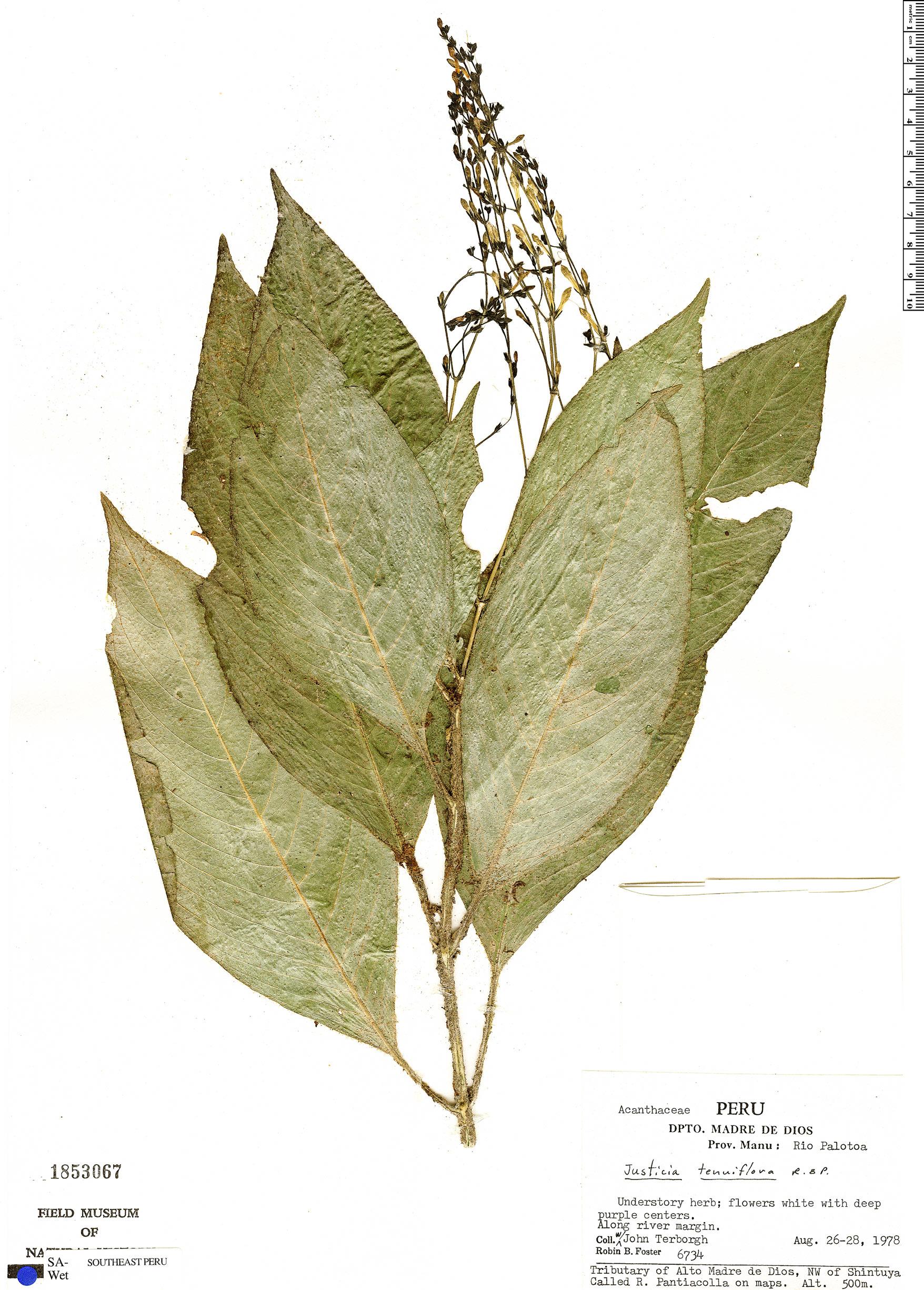 Espécimen: Justicia tenuiflora