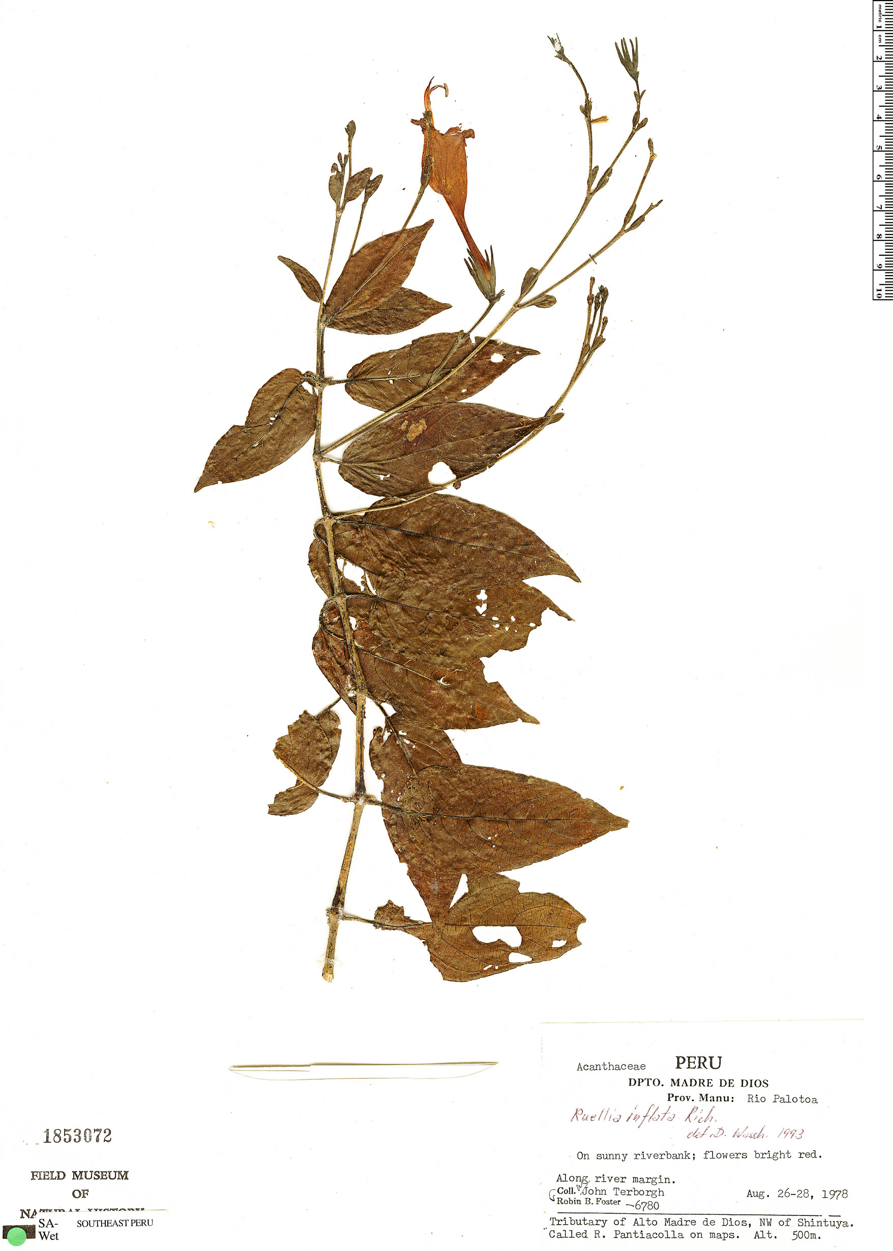 Specimen: Ruellia inflata