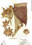 Costus acreanus (Loes.) Maas, Peru, J. W. Terborgh 6579, F