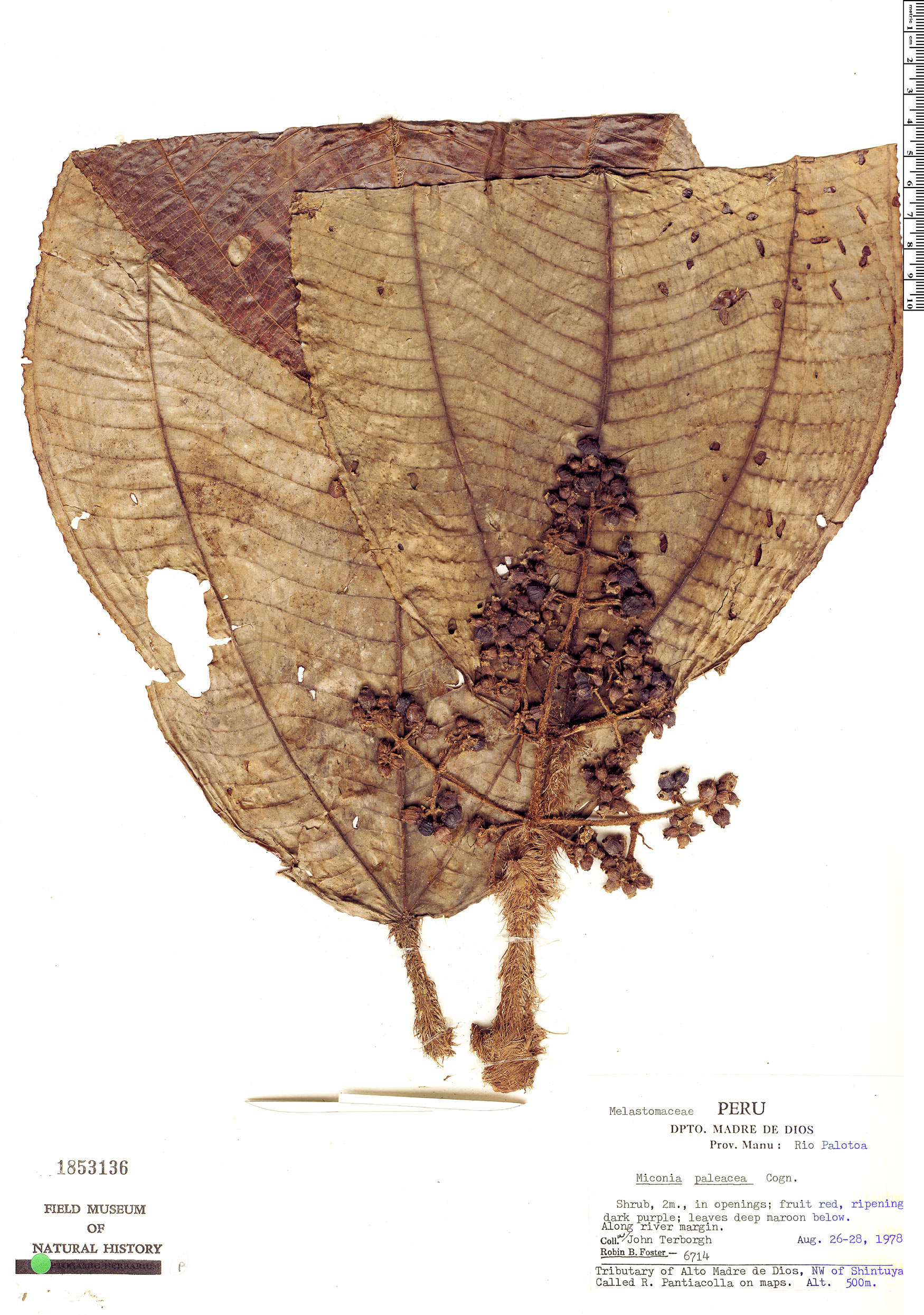 Specimen: Miconia paleacea