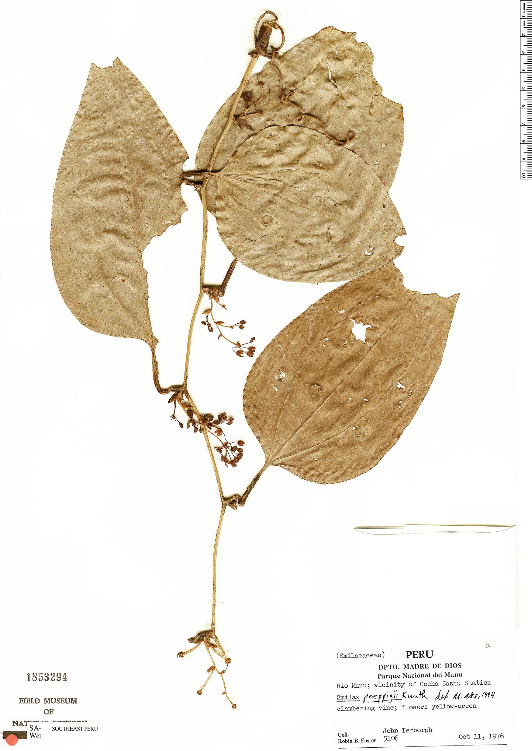 Specimen: Smilax poeppigii