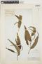 Piper lanceifolium image