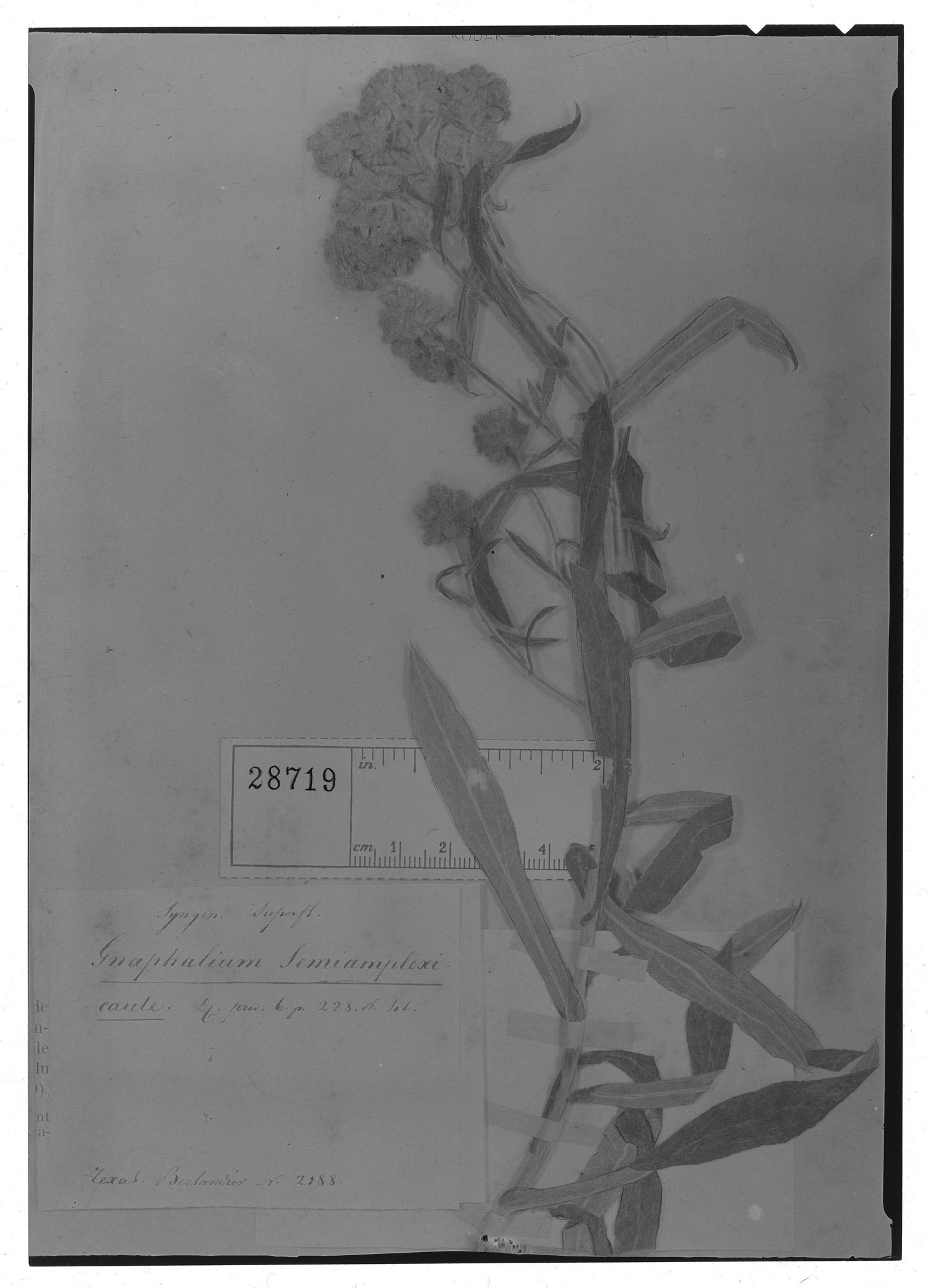 Gnaphalium semiamplexicaule image
