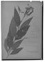 Field Museum photo negatives collection; Genève specimen of Clibadium trinitatis DC., Trinidad and Tobago, Seiber 71, Type [status unknown], G