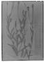Porophyllum hasslerianum image