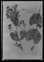 Porophyllum oppositifolium image