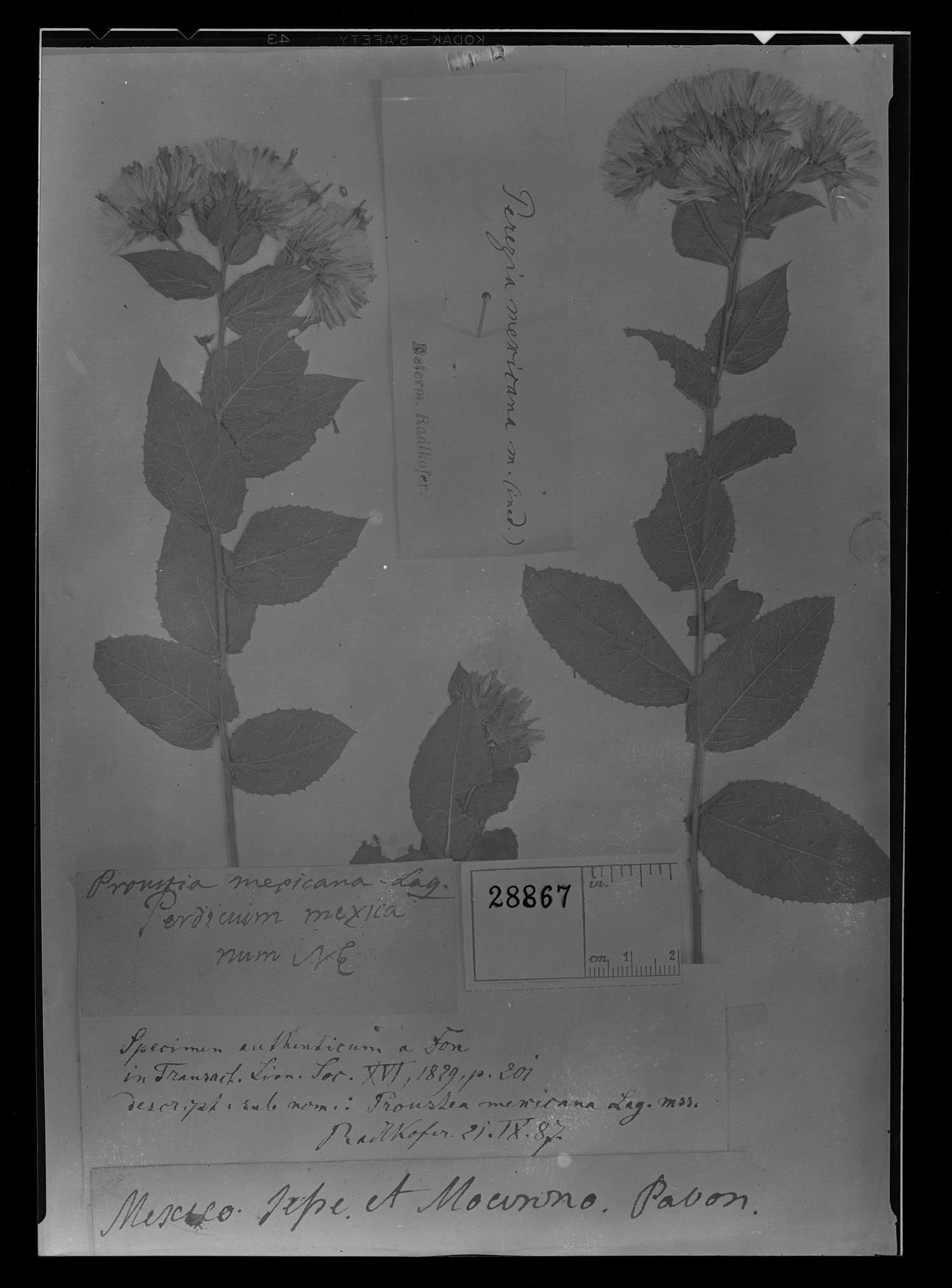 Acourtia humboldtii image