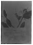 Field Museum photo negatives collection; Genève specimen of Bejaria glauca var. glandulosa Mansf. & Sleumer, PERU, H. Ruíz L., Type [status unknown], G