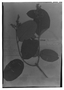 Field Museum photo negatives collection; Genève specimen of Forsteronia adenobasis Müll. Arg., BRITISH GUIANA [Guyana], R. H. Schomburgk 707, Syntype, G