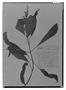 Field Museum photo negatives collection; Genève specimen of Salvia antennifera Briq., MEXICO, J. J. Linden, Type [status unknown], G