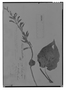 Field Museum photo negatives collection; Genève specimen of Salvia aristulata M. Martens & Galeotti, MEXICO, H. G. Galeotti 717, Type [status unknown], G