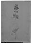 Image of Salvia aspera