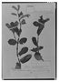Field Museum photo negatives collection; Genève specimen of Salvia benthamiana Gardner, Brazil, G. Gardner 580, Isotype, G