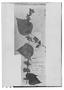 Field Museum photo negatives collection; Genève specimen of Salvia biserrata M. Martens & Galeotti, MEXICO, H. G. Galeotti 684, Type [status unknown], G
