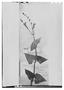 Image of Salvia cacaliifolia