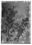Field Museum photo negatives collection; Genève specimen of Salvia gasterantha Briq., URUGUAY, O. Kuntze, Type [status unknown], G