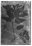 Field Museum photo negatives collection; Genève specimen of Salvia hilarii Benth., BRAZIL, A. Saint-Hilaire s.n., Type [status unknown], G