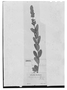Field Museum photo negatives collection; Genève specimen of Salvia lonchnostachys Benth., BRAZIL, F. Sellow, Type [status unknown], G
