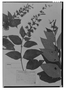Field Museum photo negatives collection; Genève specimen of Salvia lindenii Benth., MEXICO, J. J. Linden 128, Type [status unknown], G