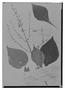 Field Museum photo negatives collection; Genève specimen of Salvia longimarginata Briq., VENEZUELA, N. Funck 117, Type [status unknown], G