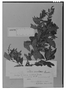Field Museum photo negatives collection; Genève specimen of Salvia montana Gardner, BRAZIL, G. Gardner 578, Isotype, G