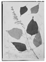 Field Museum photo negatives collection; Genève specimen of Salvia nervata M. Martens & Galeotti, MEXICO, H. G. Galeotti 650, Isotype, G