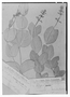 Field Museum photo negatives collection; Genève specimen of Salvia pachypoda Briq., PARAGUAY, E. Hassler 4294, Type [status unknown], G