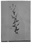 Field Museum photo negatives collection; Genève specimen of Salvia protracta Benth., MEXICO, H. G. Galeotti 712, Isotype, G