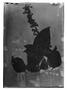 Field Museum photo negatives collection; Genève specimen of Salvia rhinosima Griseb., ARGENTINA, F. Schickendantz, Type [status unknown], G