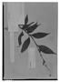 Field Museum photo negatives collection; Genève specimen of Salvia rivularis Gardner, BRAZIL, G. Gardner 577, Isotype, G
