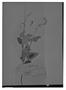 Field Museum photo negatives collection; Genève specimen of Salvia striata Benth., PERU, A. Mathews 3155, Type [status unknown], G