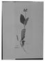 Field Museum photo negatives collection; Genève specimen of Salvia tatei Briq., MEXICO, Tate, Type [status unknown], G