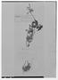 Field Museum photo negatives collection; Genève specimen of Salvia zacualpanensis Briq., MEXICO, J. J. Linden, Type [status unknown], G