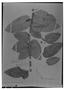 Field Museum photo negatives collection; Madrid specimen of Decostea scandens Ruíz & Pav., PERU, H. Ruíz L. 34/9, Isotype, MA