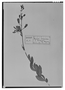 Field Museum photo negatives collection; Madrid specimen of Bejaria racemosa Vent., MA