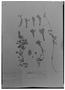 Field Museum photo negatives collection; Madrid specimen of Columnea ovata Cav., CHILE, L. Née, Type [status unknown], MA