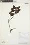 Gaultheria reticulata Kunth, PERU, N. P. Zambrana 8814, F
