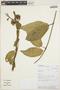 Prestonia mollis Kunth, PERU, R. W. Bussmann 17706, F