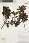 Gaiadendron punctatum (Ruíz & Pav.) G. Don, PERU, R. W. Bussmann 16607, F