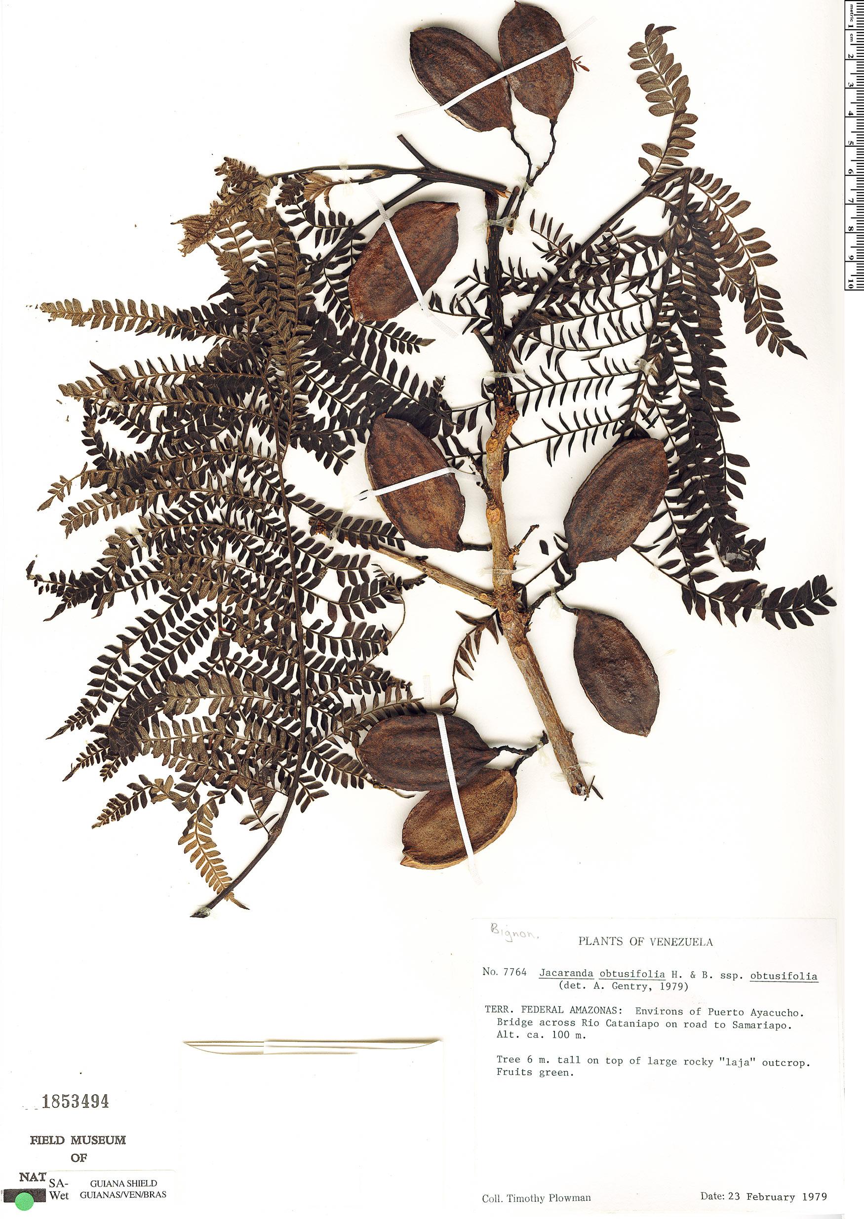 Specimen: Jacaranda obtusifolia
