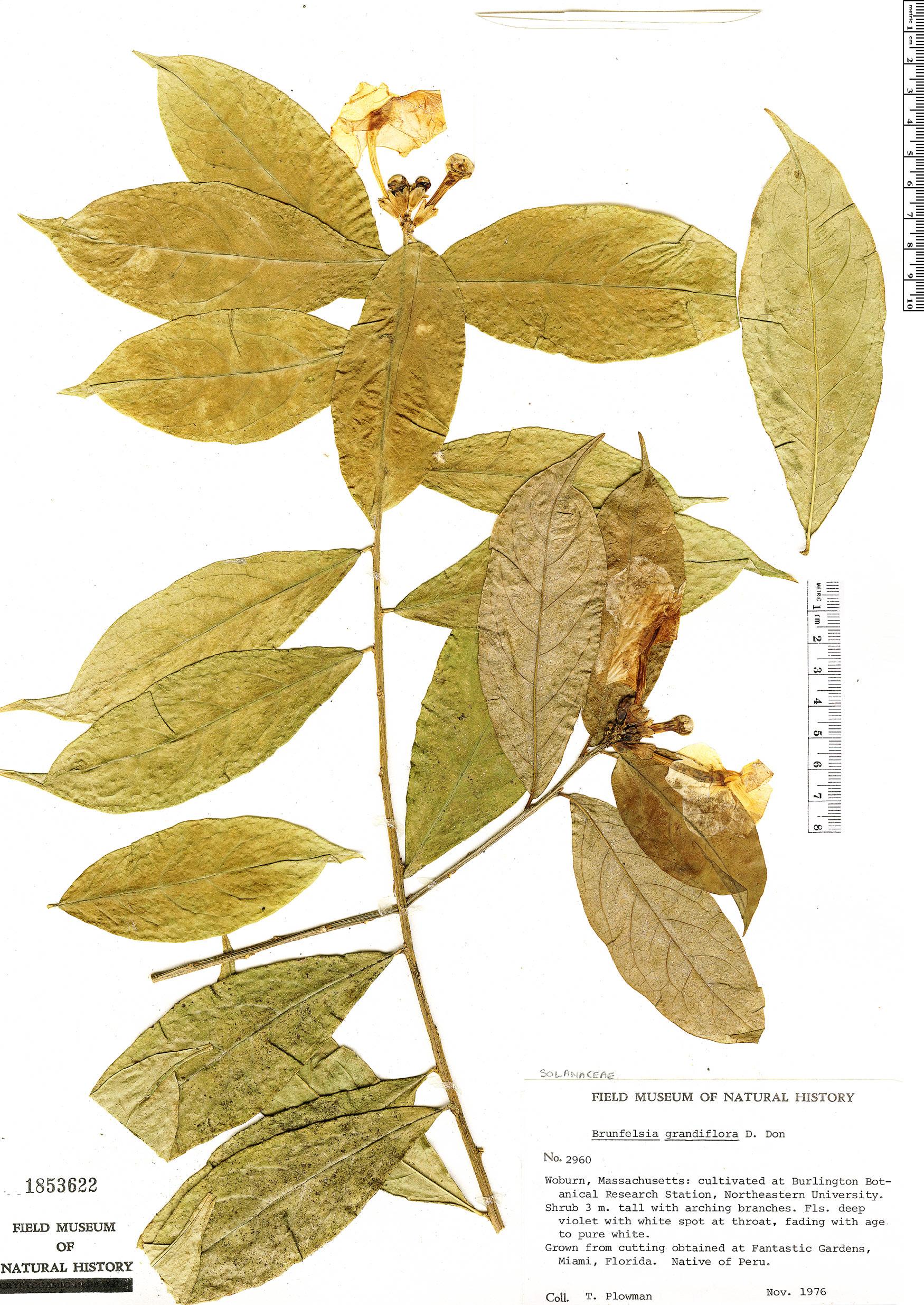 Specimen: Brunfelsia grandiflora