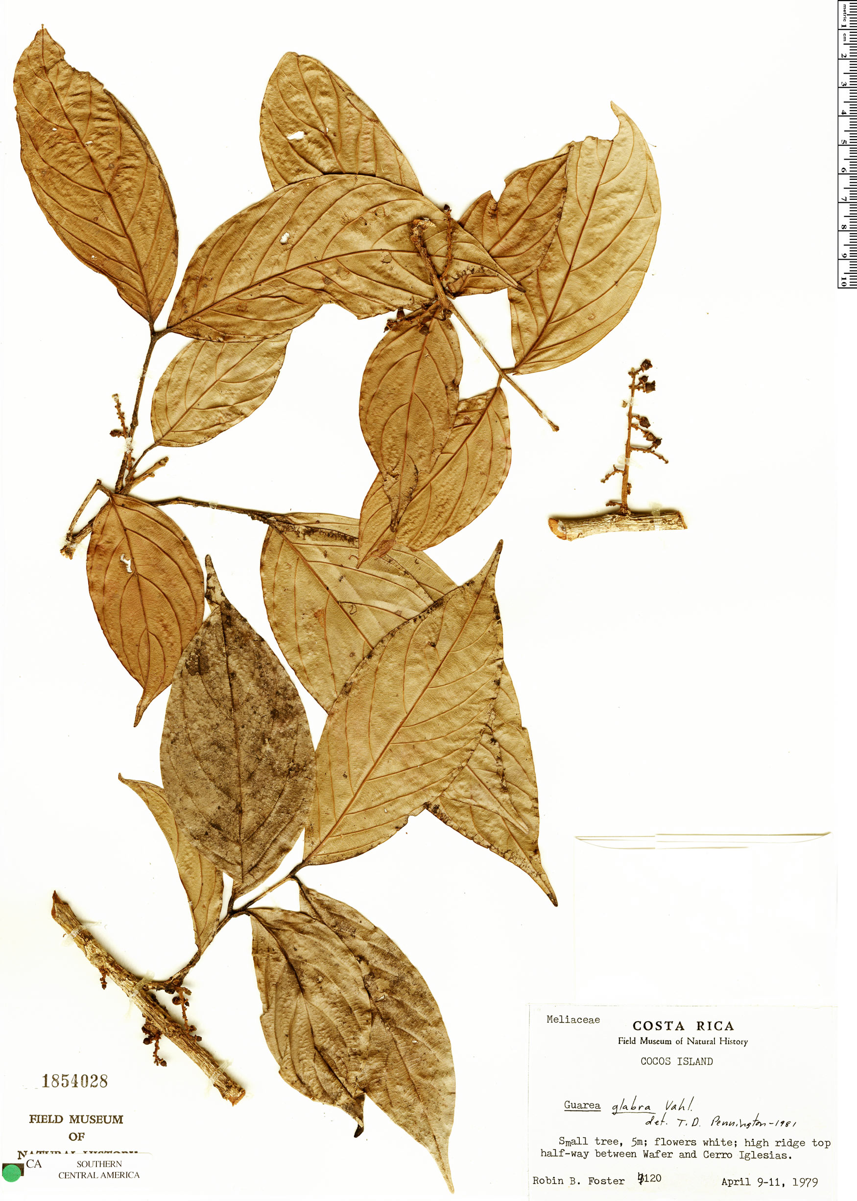 Specimen: Guarea microcarpa