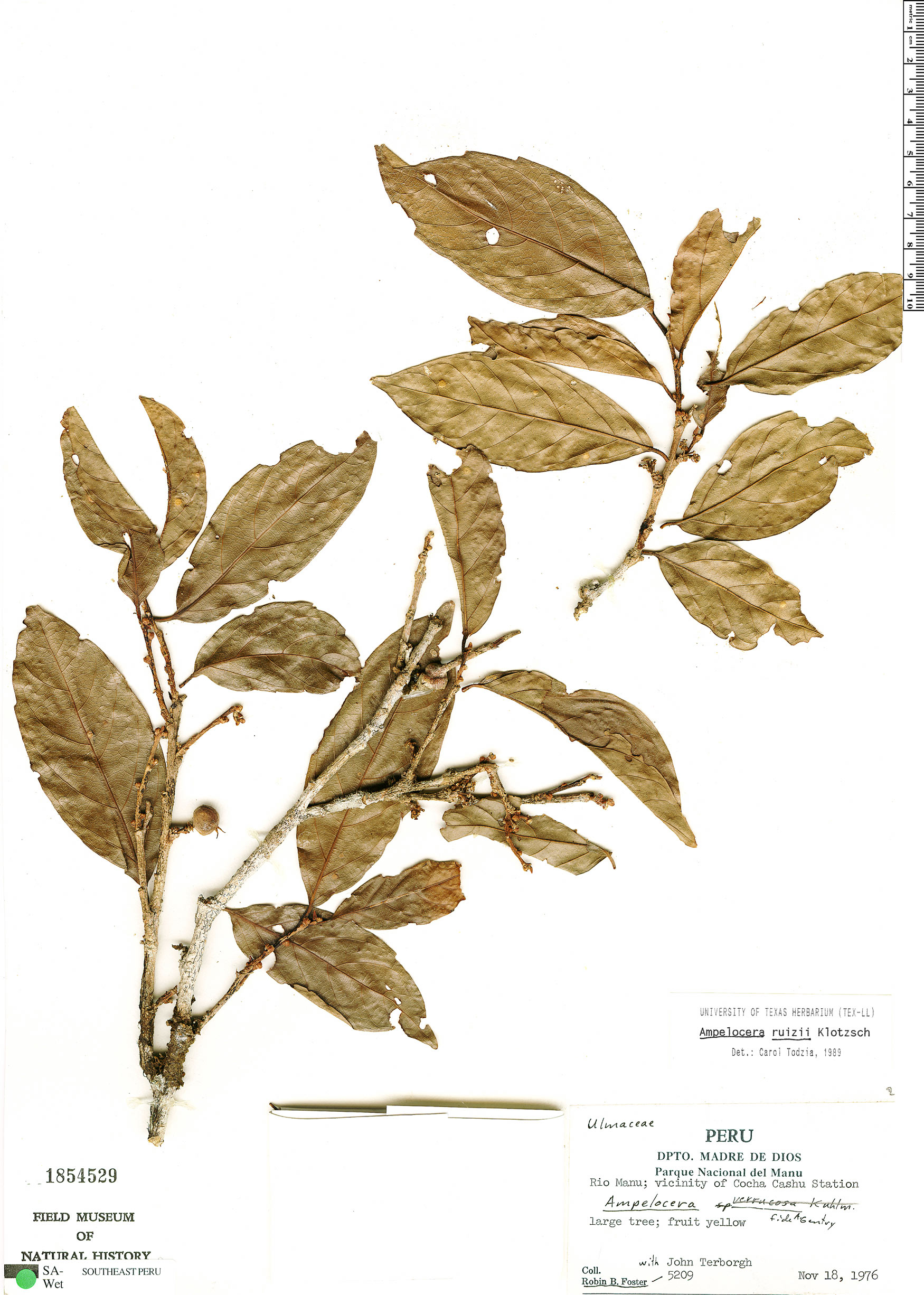 Specimen: Ampelocera ruizii