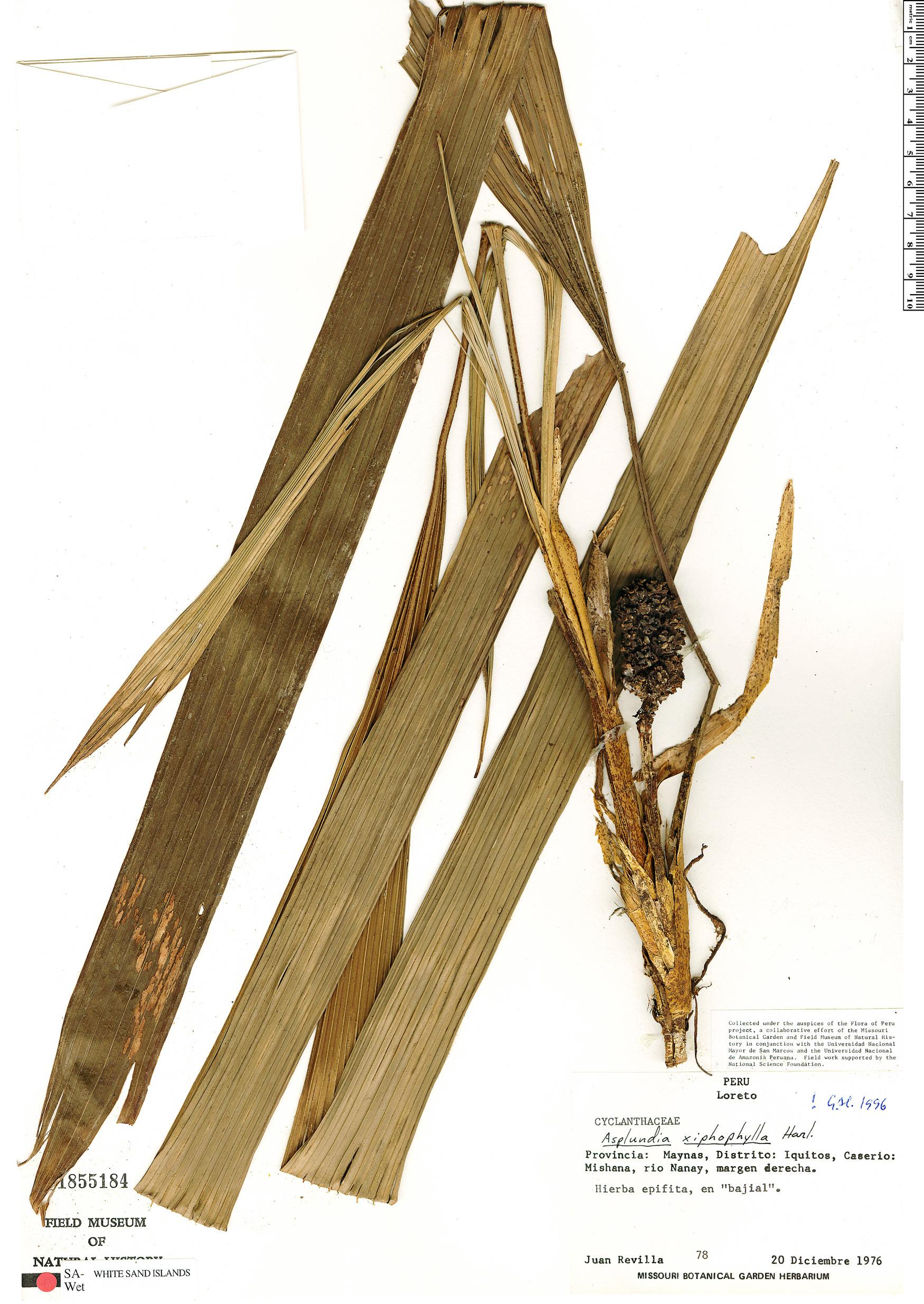 Specimen: Asplundia xiphophylla