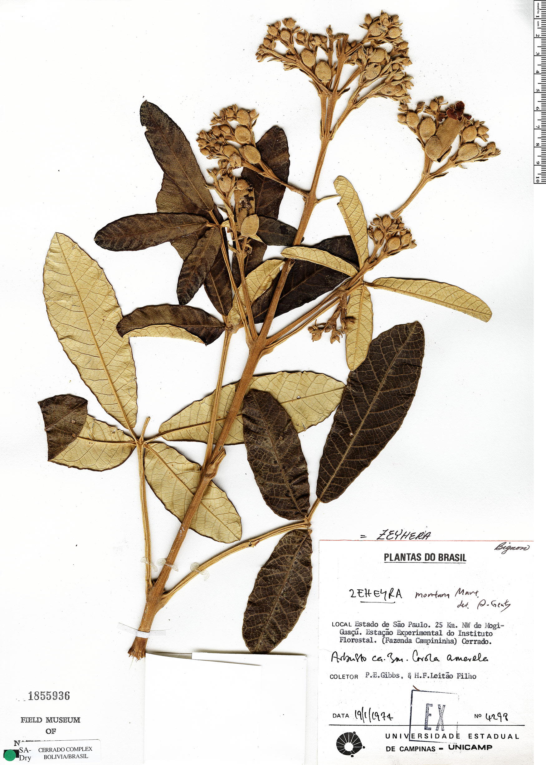 Specimen: Zeyheria montana